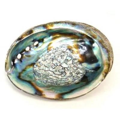 Abalone Muschel zum Räuchern 12-14 cm